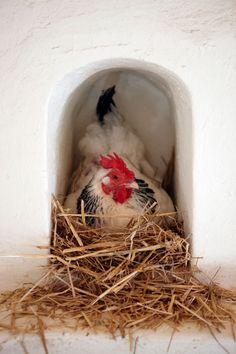 Hen in her chicken coop. Our chickens supply our restaurants with fresh eggs. Hen Chicken, Chicken Eggs, Chicken Coops, Chicken Art, Chicken Breeds, Chicken Adobe, Chicken Life, Chicken Houses, Chicken Nuggets