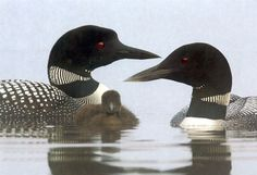 Google Image Result for http://wildernesscommittee.org/sites/all/files/imagecache/product_full/6504-common-loon-web.jpg