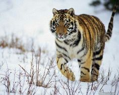 Tiger in the snow Beautiful Birds, Beautiful Pictures, Tiger Wallpaper, Fantasy Setting, Siberian Tiger, Big Cats, Lions, Animal Pictures, Kittens