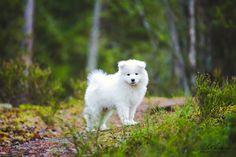 samojedinkoira, samojedi, koiranpentu, samojedin pentu, koirakuvaus, lilychristina photography, puppy, dog, white dog White Dogs, Polar Bear, Puppies, Marketing, Photography, Animals, Cubs, Photograph, Animales