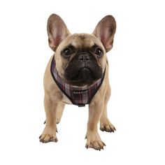 French Bulldog Puppy, wearing a Puppia Harnais pour chien Bleu Taille M: Amazon.fr: Animalerie
