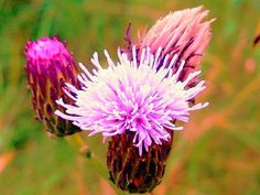 A thistle I found while out hiking on Roan Mt. In Northeast, TN-- I kinda like this photo :)