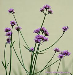 A Companion Plant Idea for ALL Milkweed Varieties? Verbena bonariensis is a tall see-through nectar flower, which means it won't block out the sun from shorter milkweed plants. It also attracts a whole slew of pollinators, including many monarch butterflies...