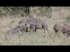 Warthogs fun in the sun Wildlife, Elephant, Sun, Animals, Animales, Animaux, Elephants, Animal, Animais