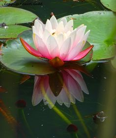 Water Lilly, original photographic print, flower, nature, British by ByGaddArtandDesign on Etsy