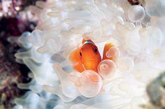 Anêmona de pontas bulbosas com peixe-palhaço em Papua-Nova Guiné