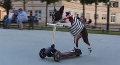 Watch two amazing Boston Terrier dogs showing off their sporty style by wearing shirts and sneakers while scootering in the south of France! Boston Terriers, Boston Terrier Love, Terrier Puppies, Bull Terriers, Dog Love, Puppy Love, Animals And Pets, Cute Animals, Cute Dog Pictures
