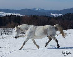 Oscuro, my Paso Fino gelding, in the snow.