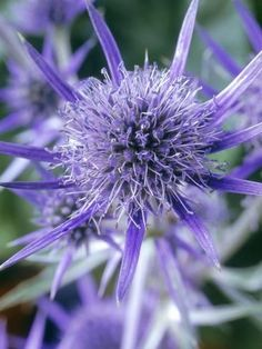 size: Photographic Print: Eryngium Bourgatii , Close-up of Flower Poster by Chris Burrows : Artists Purple Flowers, Wild Flowers, Beautiful Flowers, Scottish Wedding Cakes, Pink Perennials, String Garden, Sea Holly, Unusual Plants, Flowers