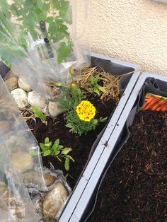 Foto: Und noch einmal die Tagetes für die Tomaten. Dazwischen hab ich Spinat gepflanzt, der auch wirklich toll gedeiht / © Der grüne Mami Blog