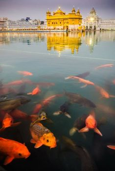 Golden Temple, Amritsar, India.  Our sources tell us those gorgeous fish may look majestic and beautiful to the untrained eye - but they are actually terrifying. Maybe they had just seen Piranha?  Either way visit www.BYOjet.com.au to book flights to India to experience the scary fish yourself! #travel #byojet