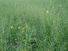 Green Barley field by net_efekt