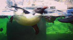 Experience the incredible diversity of the Indian and Atlantic Oceans at one of Cape Town's top tourist attractions, the Two Oceans Aquarium. Penguin Day, Penguin Life, Ocean Aquarium, African Penguin, Cape Town South Africa, Oceans, Great Places, Penguins, The Incredibles