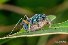Spider wasp (Pompilidae) - DSC_5814
