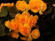 Begonia Tuberosa cuidados