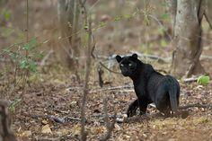 True melanism. Melanistic Panther, Mudumalai Tiger Reserve