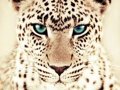Leopard Pictures, Photos, and Images for Facebook, Tumblr, Pinterest, and Twitter