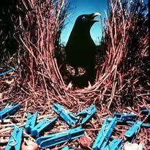 Image result for bowerbird nest