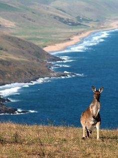 Tunkalilla Beach, near the Adelaide Plains, South Australia. He likes the beach view too. Outback Australia, South Australia, Australia Travel, Australia Holidays, Australia Photos, Visit Australia, Melbourne Australia, Great Barrier Reef Australia, Beautiful World