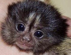 Baby Marmoset Monkey Cute Baby Monkey, Pet Monkey, Cute Baby Animals, Marmoset Monkey, American Animals, Animal Posters, Baboon, Cool Pets, Primates