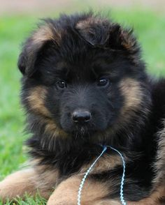 Wicked Training Your German Shepherd Dog Ideas. Mind Blowing Training Your German Shepherd Dog Ideas. Cute Baby Dogs, Cute Dogs And Puppies, Cute Baby Animals, Animals And Pets, Doggies, Beautiful Dogs, Animals Beautiful, Berger Malinois, German Shepherd Puppies