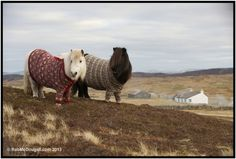 VisitScotland - shetland ponies in cardigans