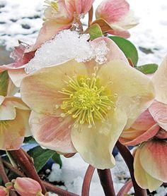 Ballardiae Cinnamon Snow PPAF Helleborus Seeds - Perennial Flowers Seeds and Plants at Burpee.com (winter blooming - shade)