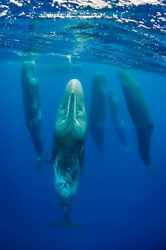 Aug 9, 2012 Article: Sperm Whales Sleep While 'Drifting' Vertically, Scientists Say (VIDEO) :: www.seethewild.org