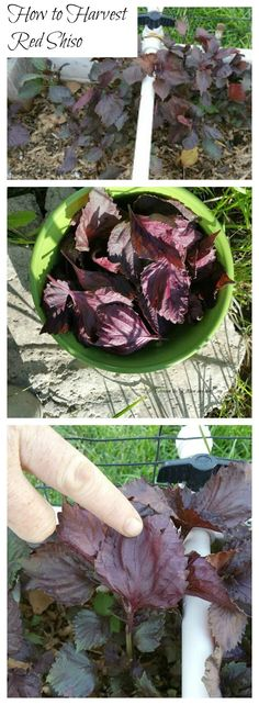 I love red shiso (also known as Japanese basil) because it adds color to the garden.  One of the other nice things about red shiso is that it can be a perennial plant, depending on your climate.  That means you plant it once and dont have to plant it aga