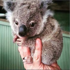 This is the tiniest #koala we've ever seen! - Ordering up some cuteness at @rainforestation in @tropicalqueesland - Photo by @mandji #cute #cutekoala #tiny #animal #nature #wildlife #beautiful #encounter #travel #explore #discover #seeaustralia