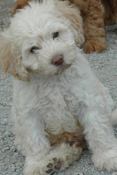 Labradoodle so adoreable