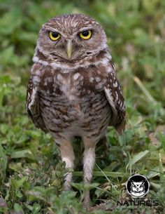 -m----Burrowing  Owl.-