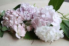 pale, white and lavender hydrangeas...