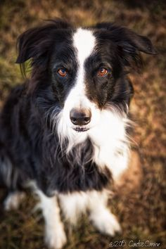 The eyes have it. Border Collie.