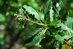 Brachylaena Glabra               Malbaar Tree        Malbaarboom        18 m        S A no 726       BOLD Systems