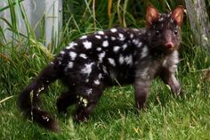 Melanistic Eastern Quoll