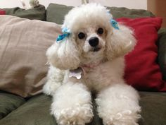 My baby poodle