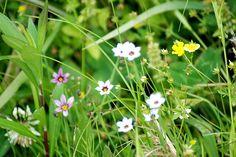 菰野町宿野(しゅくの)「野に咲く花」平成25年5月19日撮影