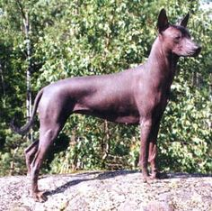 Xoloitzcuintli (pronounced...shoh-loh-eets-kweent-lee) (aka Mexican Hairless Dog) is a hairless breed of dog, found in toy, miniature and standard sizes. In spite of some similarities in appearance, there is no close genetic relationship between this and the Chinese crested dog.