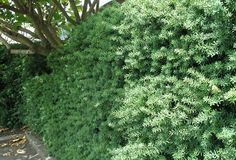 A New Zealand native used as a hedge, I like the colour and texture.