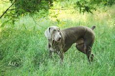 Benning the Weimaraner. Dog. Pet photography. Shawna Crute Photography.