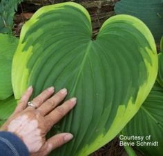 Hosta 'Victory' Huge leaves, would look great in the new Hosta garden.