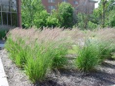 Calamagrostis acutiflora 'Karl Foerster'   in Minneapolis, MN    Photo credit: R Evan Easton