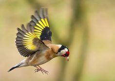 European Goldfinchs