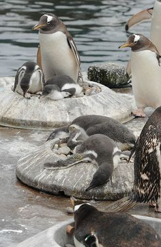 Penguin chicks resting by Edinburgh Zoo Official, via Flickr