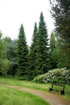 Mature Picea omorika - Serbian Spruce.  Mature height 15-20 metres.  Evergreen.