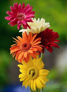 Gerberas are such happy flowers! Happy Flowers, Flowers Nature, My Flower, Pretty Flowers, Colorful Flowers, Gerbera Flower, Rainbow Flowers, Arrangements Ikebana, Daisy Love