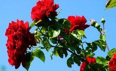 trandafirul, indicatii terapeutice si ingrijire Insomnia, Plant