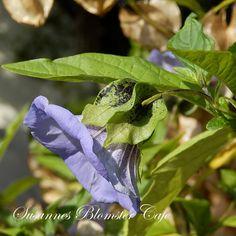 Bloggen er en del af webshoppen hvor du kan købe frø af mange af de omtalte sorter her på sitet.