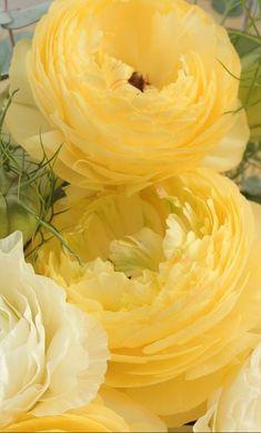 Gorgeous, yellow Ranunculus